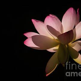 Lotus in the Pink by Sabrina L Ryan