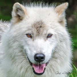 Arctic wolf by Gina Levesque