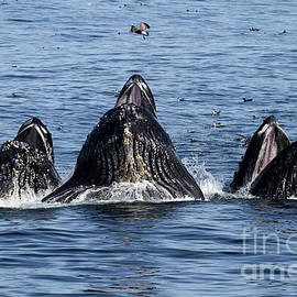 lunge-feeding humpback whales in Monterey Bay by California Views Archives Mr Pat Hathaway Archives