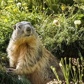 Paul MAURICE - Marmot