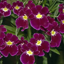 Sally Weigand - Miltonia Petunia Orchids