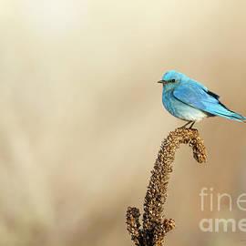 Mountain Bluebird by Beve Brown-Clark Photography