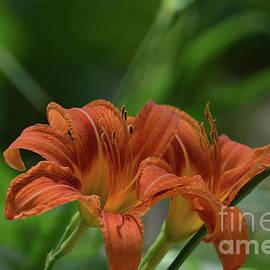 Ruth Housley - Orange Daylilies