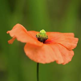 Robert Murray - Orange Poppy