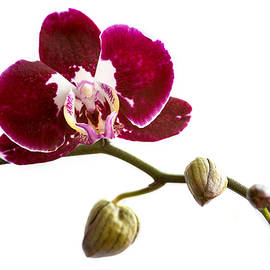 Michalakis Ppalis - Orchid phalaenopsis flower