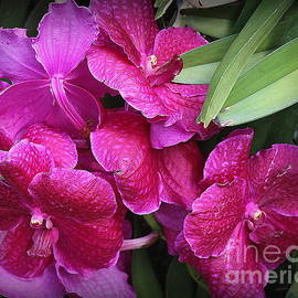 Dora Sofia Caputo Photographic Art and Design - Orchids Lovely in Magenta
