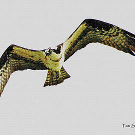 Tom Janca - Osprey Looking For Lunch