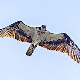 Osprey by Steve Harrington