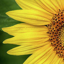 Partial Sunflower by Don Johnson