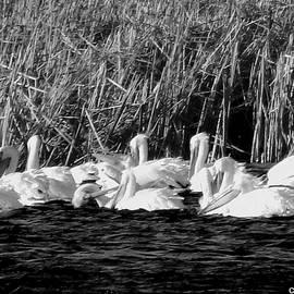 Curtis Tilleraas - Pelicans Fishing