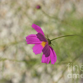 Pink Cosmos by Alana Ranney