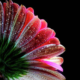 Lilia D - Pink Flower