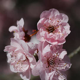 Joy Watson - Pink Prunus Blossom