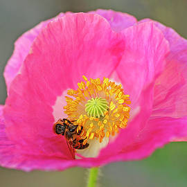 Poppy Pollinators by Bill Morgenstern