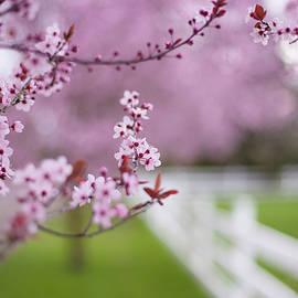 Kunal Mehra - Portland cherry blossoms