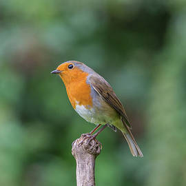 Stephen Jenkins - Portrait of a Robin