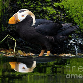 Puffin Reflected - Mike Dawson