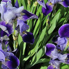 Diane Lent - Purple Iris