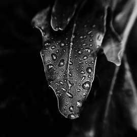 Rain on the Philodendron - BW by Scott Pellegrin