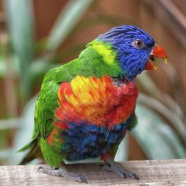 Rainbow Lorikeet - Martin Newman