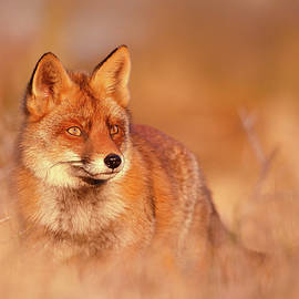 Red Fox in Red Light by Roeselien Raimond