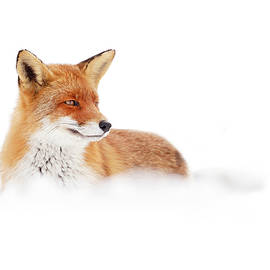 Roeselien Raimond - Red Fox in the White Snow