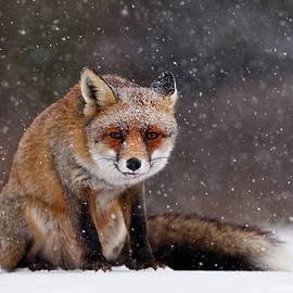 Roeselien Raimond - Red Fox Sitting in the Snow