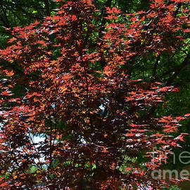 Red Maple Tree by Ruth Housley