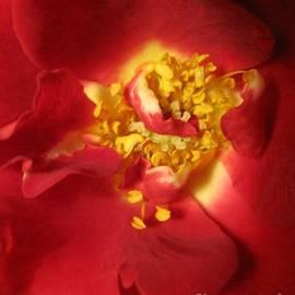 Red Rose Macro Abstract by Tara Shalton
