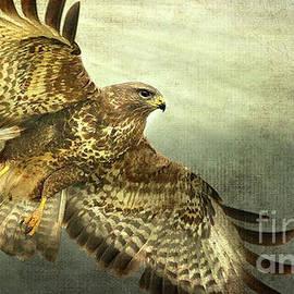 Peggy Franz - Red Shoulder Hawk