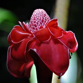 Red Torch Ginger by Heidi Fickinger