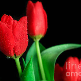 Tracy Hall - Red Tulips