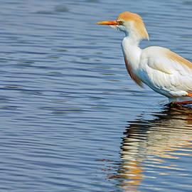 Reddish Egret by Rick Higgins