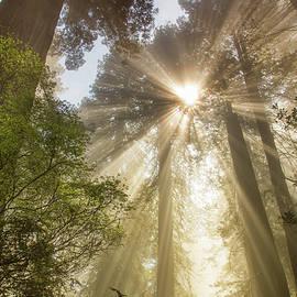 Kunal Mehra - Redwoods sunburst