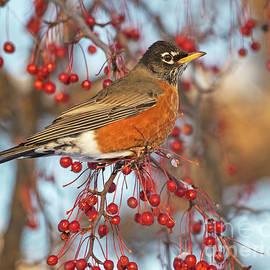 Robin.. by Nina Stavlund