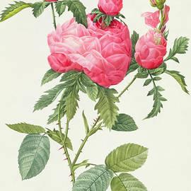 Rosa Centifolia Prolifera Foliacea - Pierre Joseph Redoute