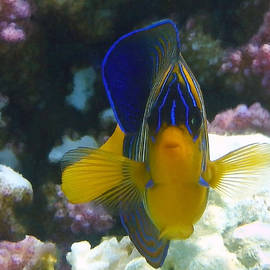 Royal Angelfish closeup