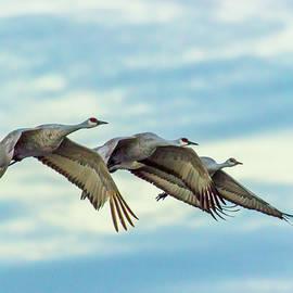 Sandhill Cranes by Maggie Brown