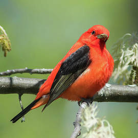 Todd Bielby - Scarlet Tanager