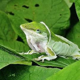 Shedding Lizard by Kenneth Keller