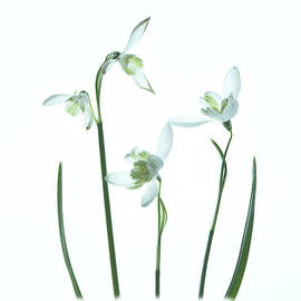 Snowdrops by Robert Murray