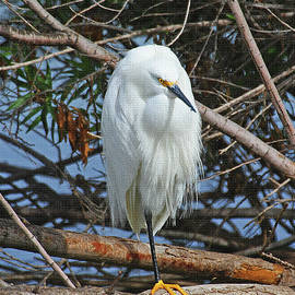 Tom Janca - Snowy Egret With Yellow Feet
