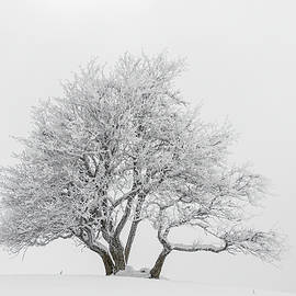 Paul MAURICE - Snowy tree