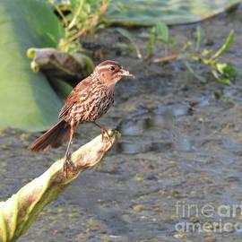 Ruth Housley - Song Sparrow 2