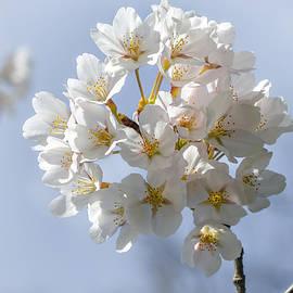 Olimpia Negura - Cherry flowers