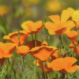 Saija Lehtonen - Spring Poppies Abloom