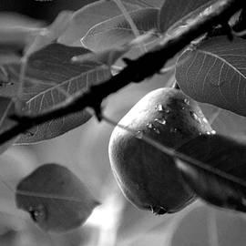 Lesa Fine - Study of A Pear