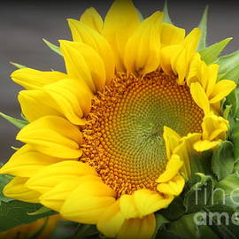 Dora Sofia Caputo Photographic Design and Fine Art - Glorious Sunflower