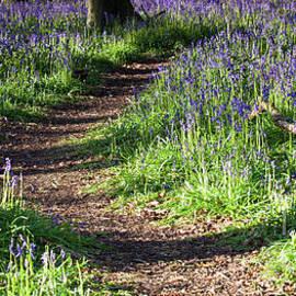 Norfolk, England sunrise path through bluebell woods by Simon Bratt Photography LRPS