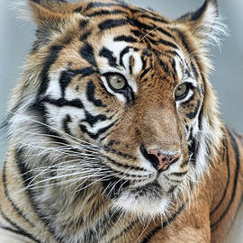 The Gaze of a Tiger by Jim Fitzpatrick